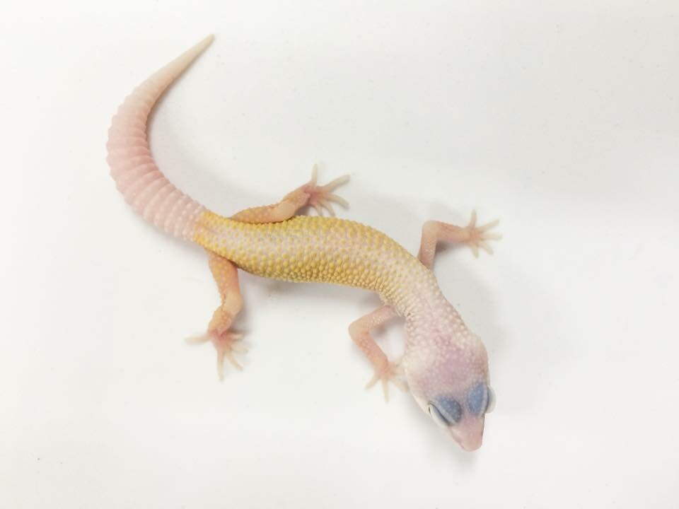 white yellow lizard image