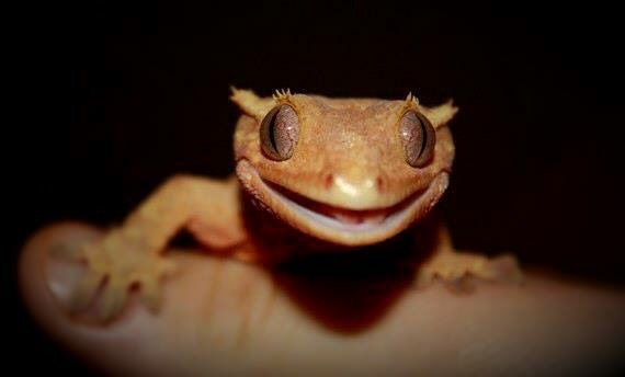 yellow brown lizard smile in hand image