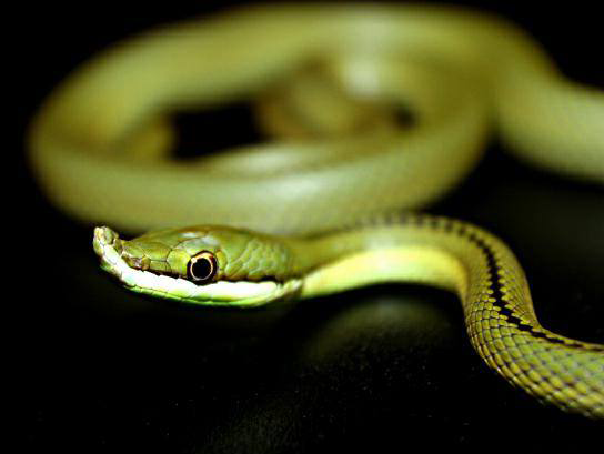 green snake on black background image