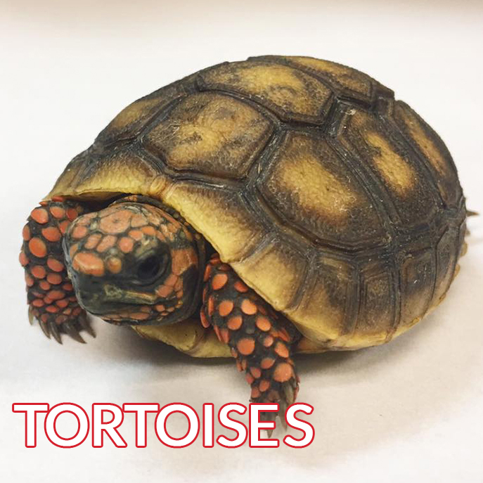 tortoise with red brown scales baby image
