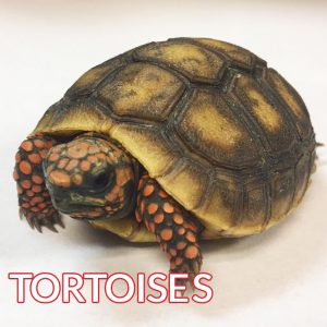red scales tortoise baby image
