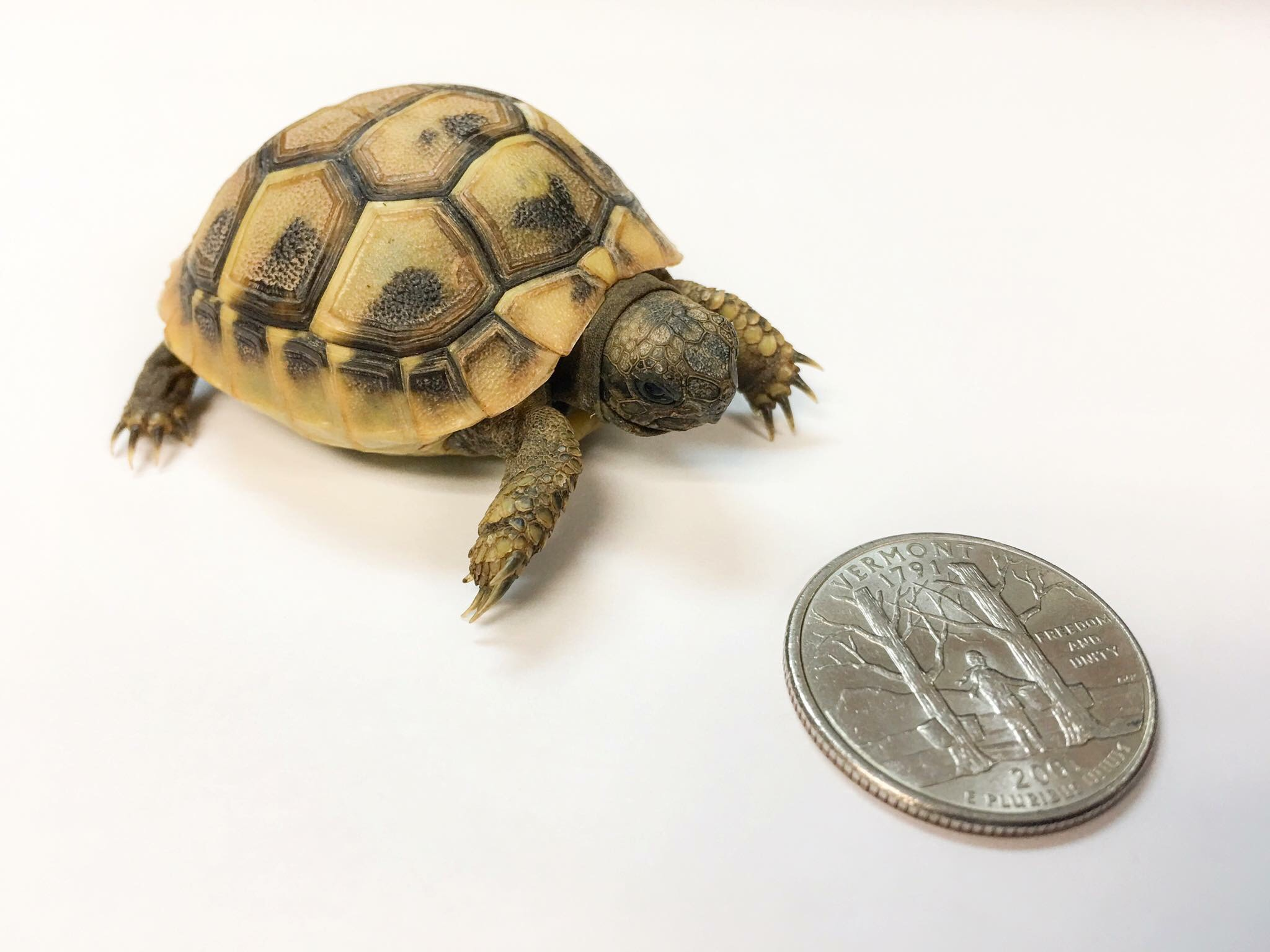 tortoise and quarter size image