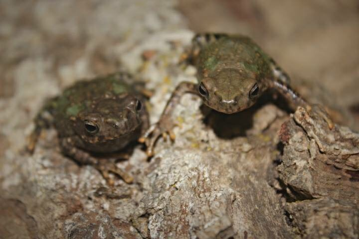 green brown frogs on wood image