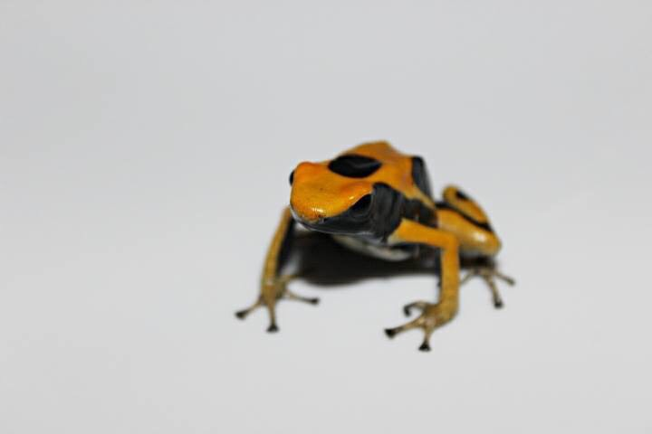 yellow orange and black frog image