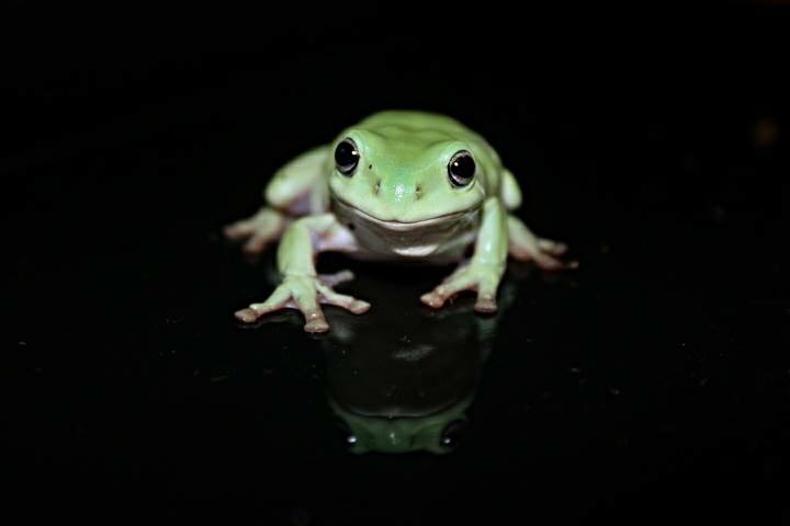 IMG_7388green and white frog on black background image