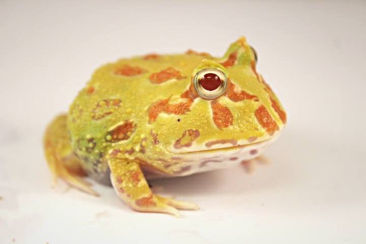 yellow green and orange with red eyes frog image