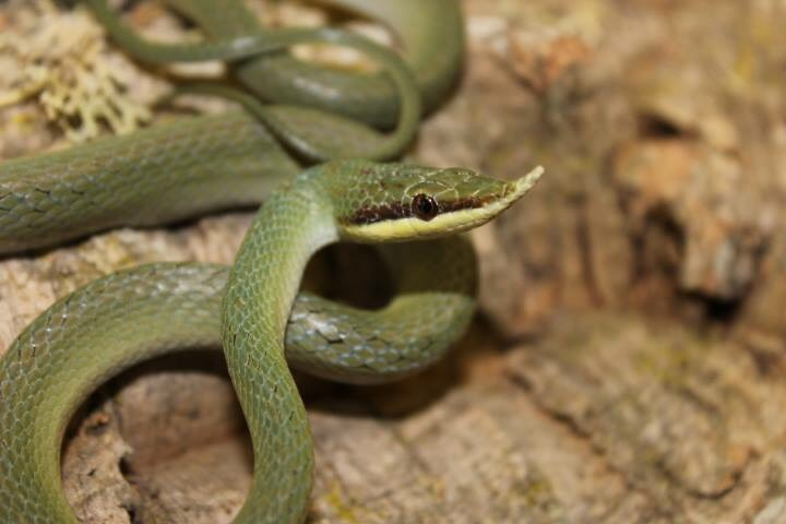 green pointed nose snake on wood image