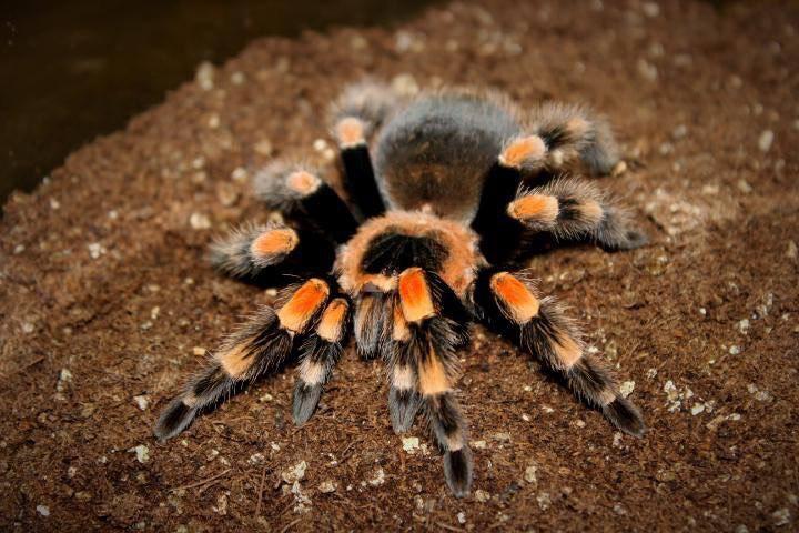 spider tarantula image