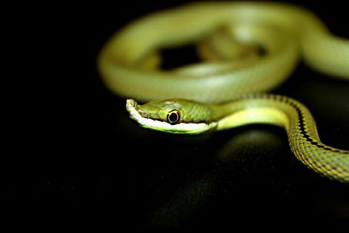 green snake with snout image
