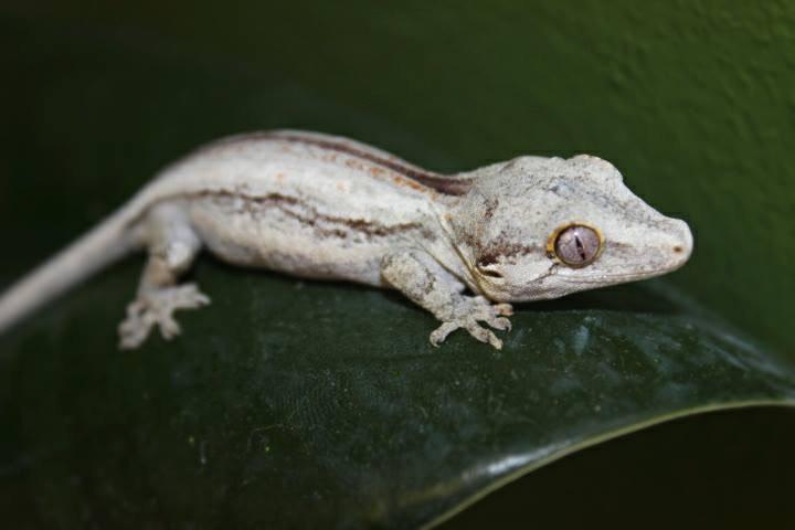 white lizard image