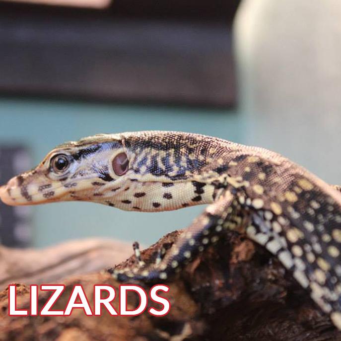 beige lizards on log image