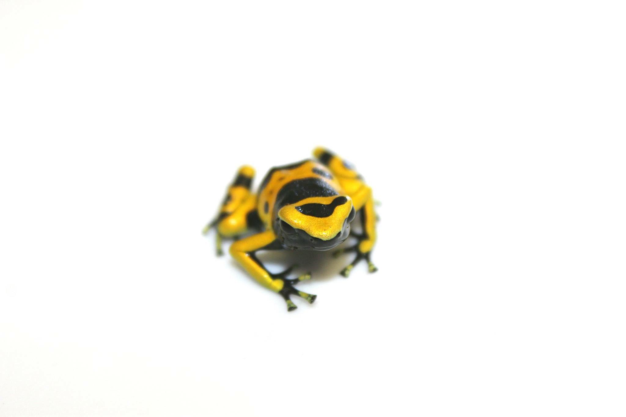 yellow black frog image