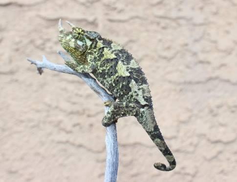 Jackons Chameleon green black image